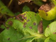 Alternaria - leaf spots